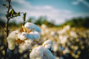 Cotton in a cotton field